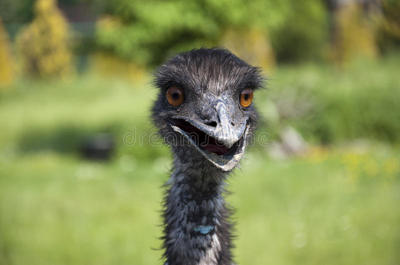 Download Emu stock image. Image of flightless, naturally, ostrich - 19616275