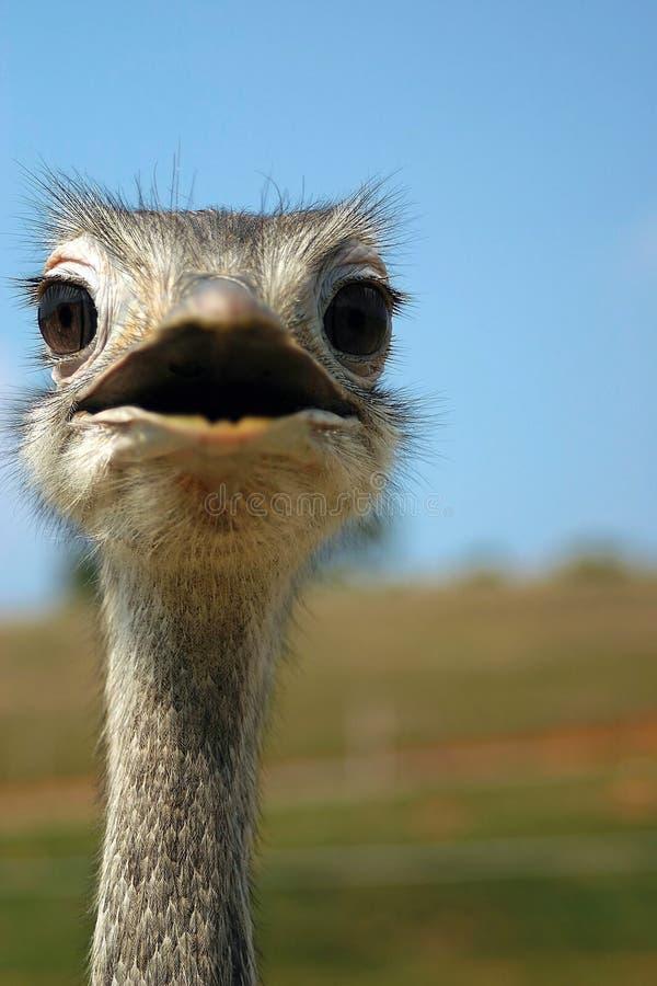 Download Emu fotografia stock. Immagine di faccia, guardare, wildlife - 203732