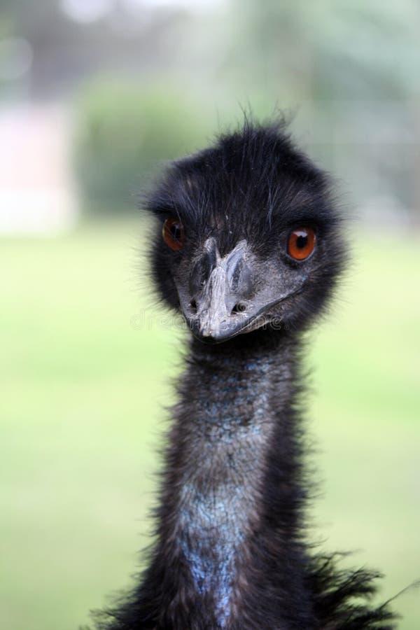 Emu imagenes de archivo