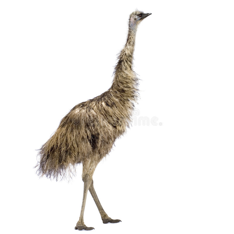Download Emu stock image. Image of baby, beak, feather, poultry - 2781143