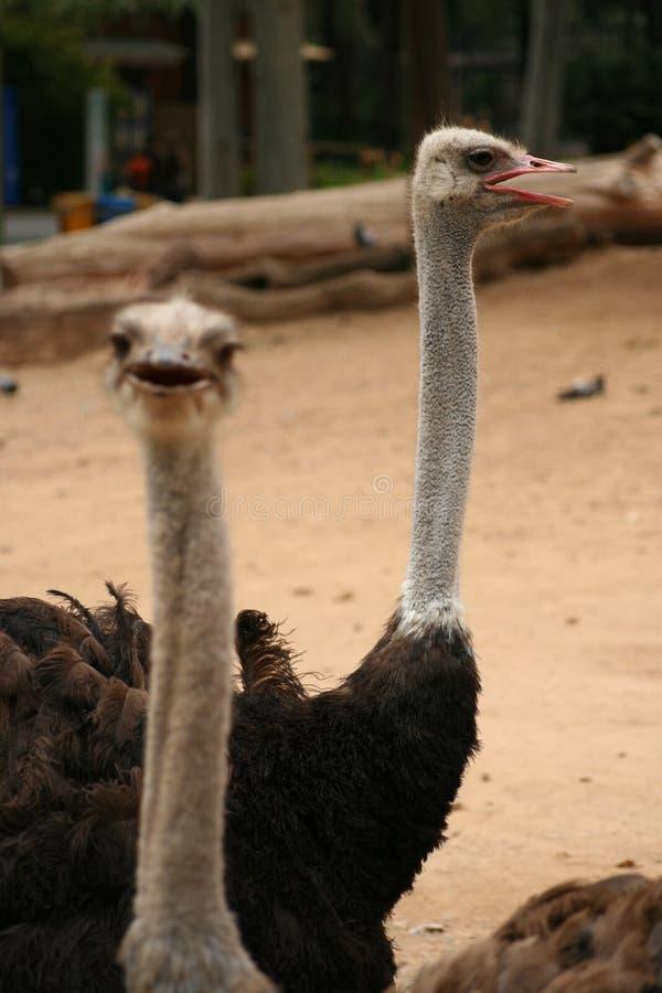 emu стоковые изображения
