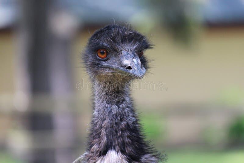 Emu stockbilder