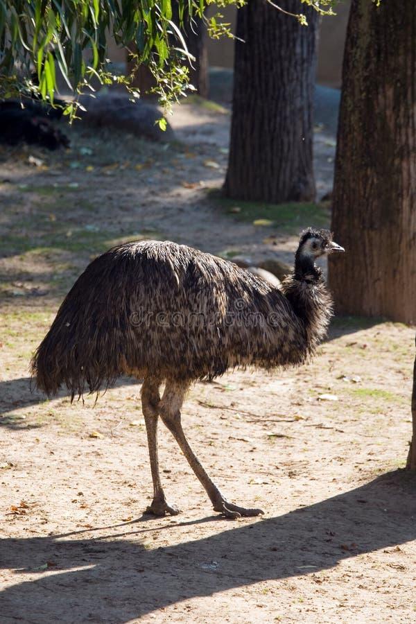emu стоковая фотография