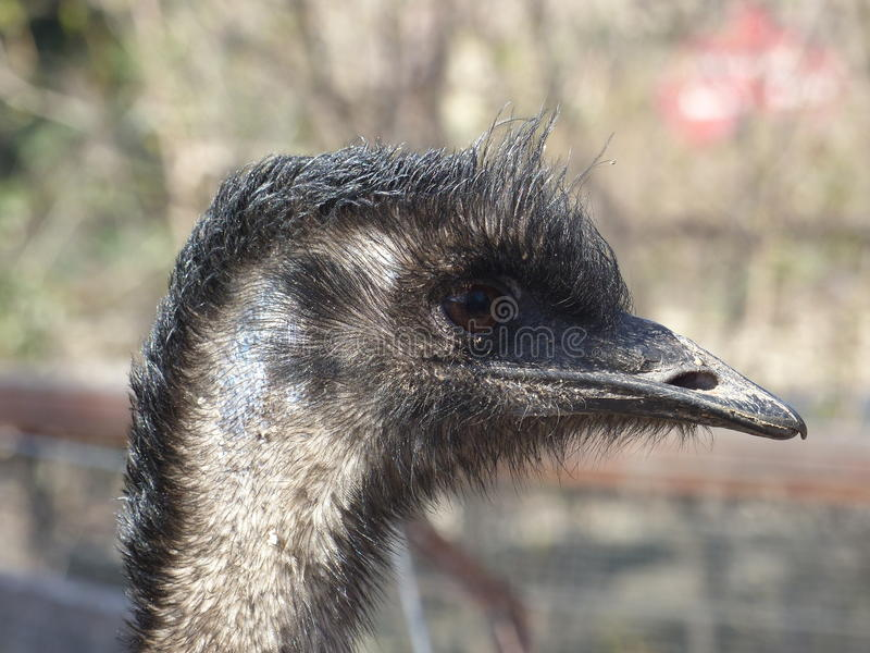 Emu fotografia stock