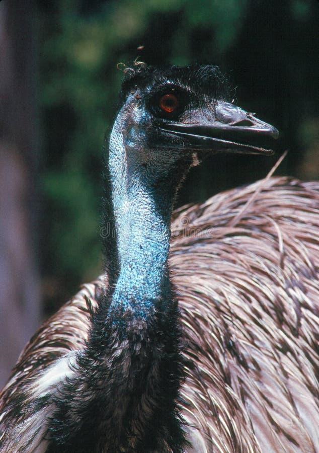 emu royaltyfri bild