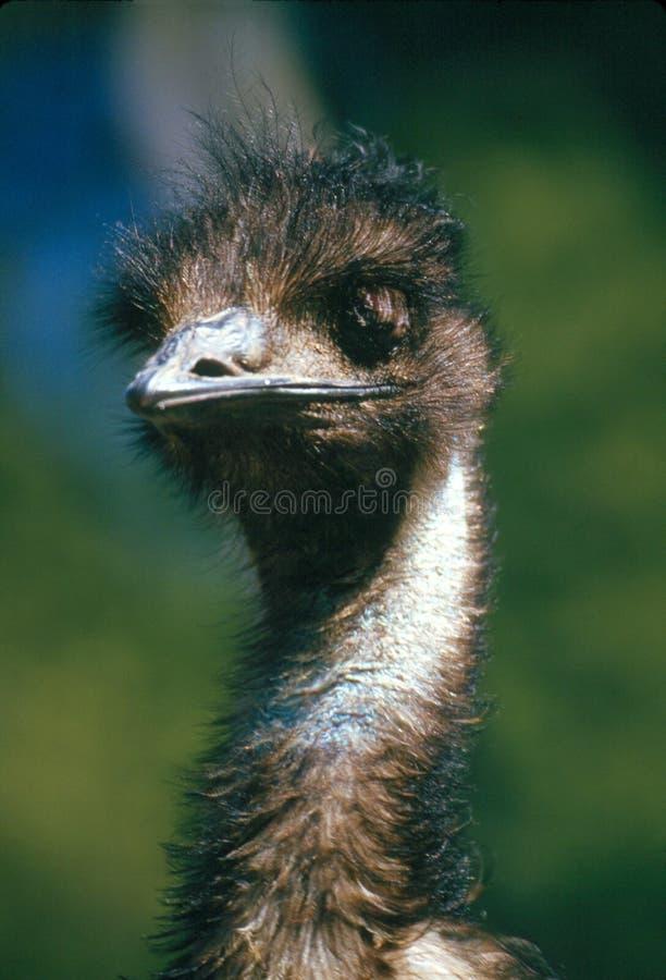 Emu photo stock