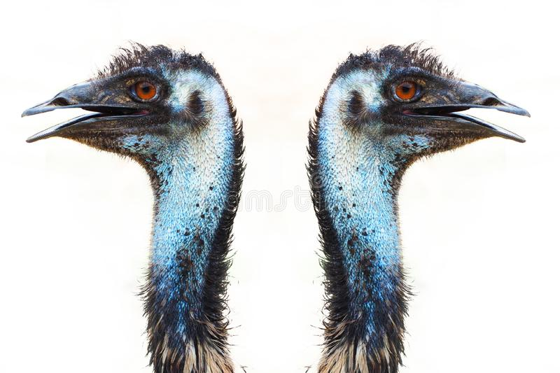 Emu in australia similar to ostrich is stature size white background  - Image. Emu in australia similar to ostrich is stature size white background royalty free stock photography