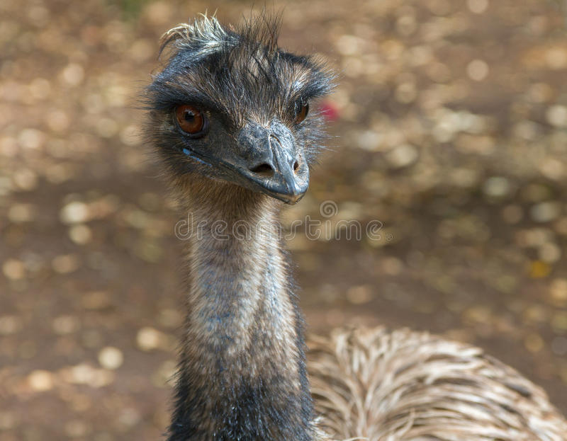 Emu australian bird. royalty free stock image