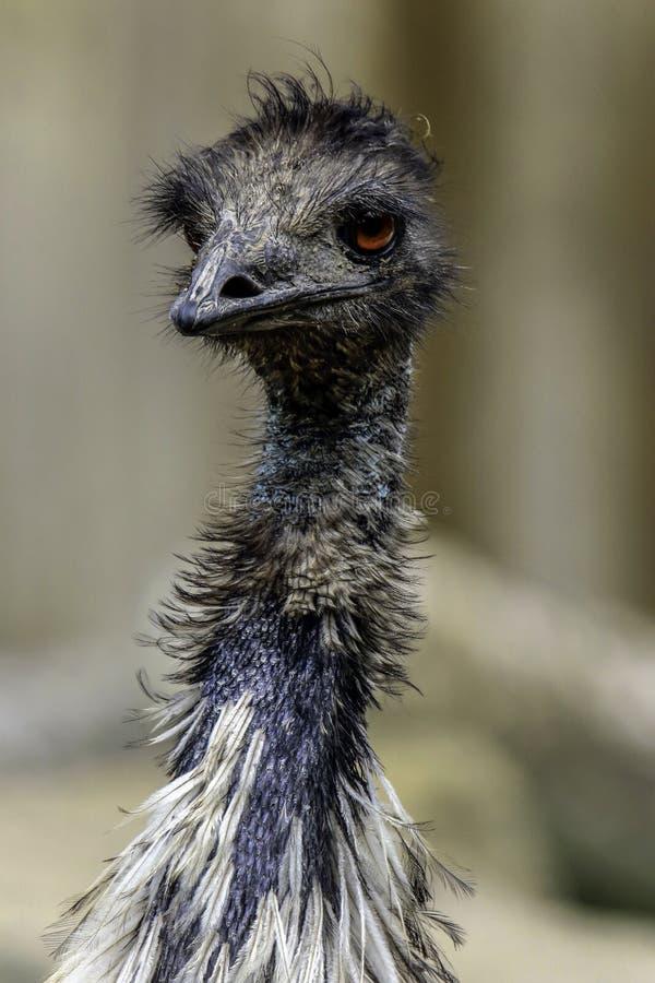 Emu. Australian Flightless Bird Close Up Portrait royalty free stock image