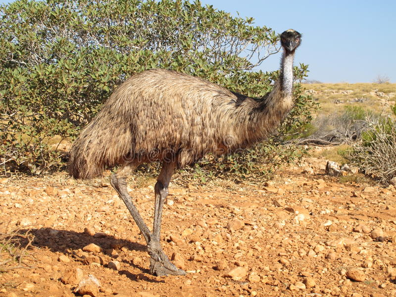 Emu Australien royaltyfri foto