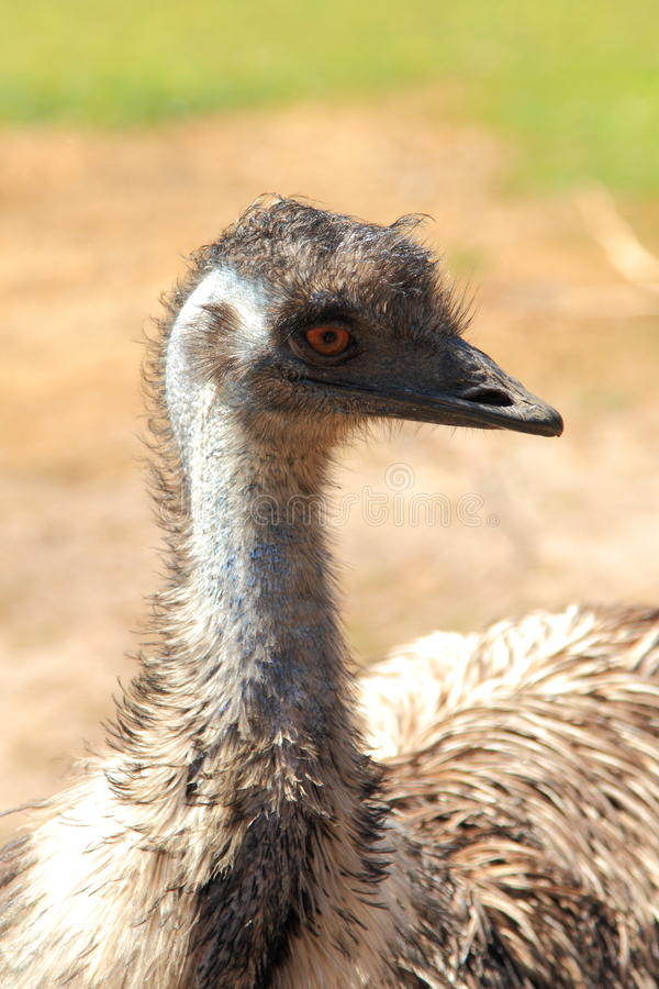 Free Emu Bird Stock Image - 53849651