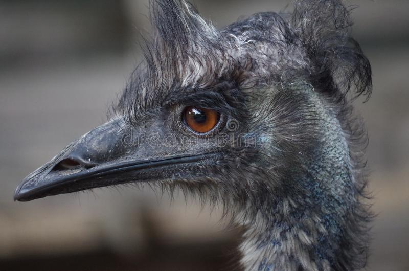Emu, Bird, Beak, Ratite stock image