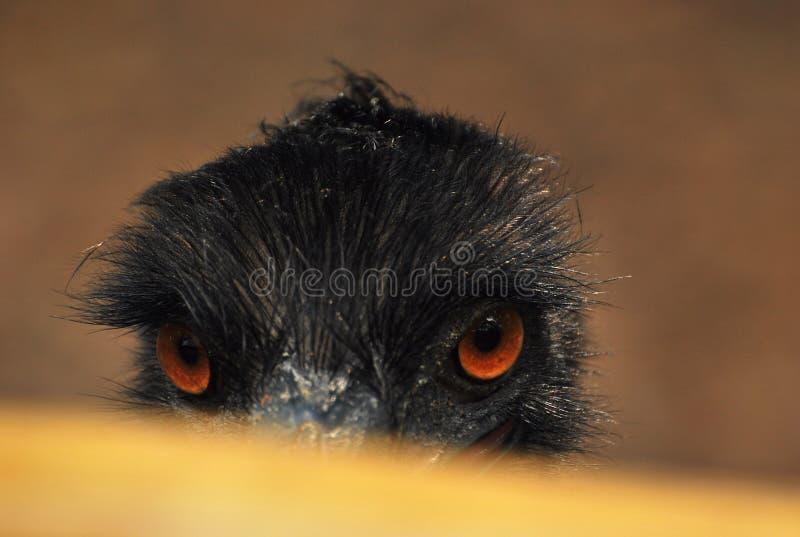 Emu bird peekaboo - an emu bird raising its head from the barrier railing stock photo