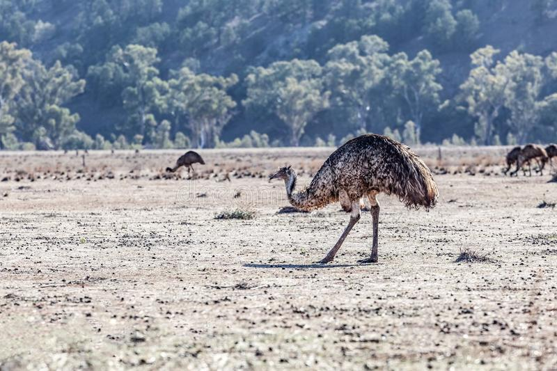 Emu bird in South Australian Landscape. stock image