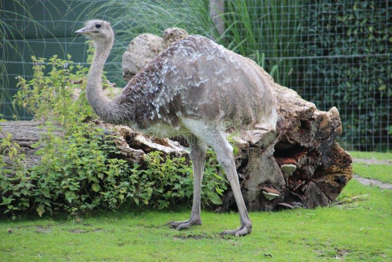 Emu in the Rotterdam Zoo. Emu in the Blijdorp Rotterdam Zoo royalty free stock photos