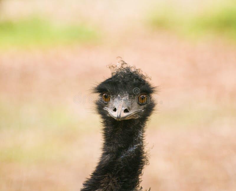 Emu Brown lizenzfreie stockfotos