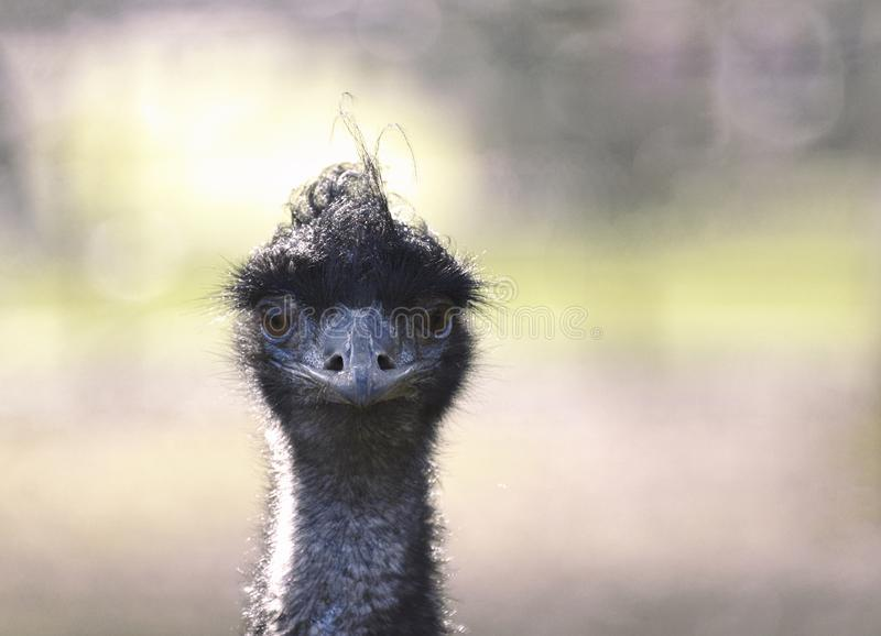 Emu Close Up of Head and Face with eye contact. An Emu close up photograph as the bird looks directly at the camera royalty free stock photo