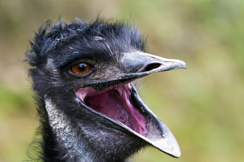 Emu. A closeup of the head of an emu stock photos