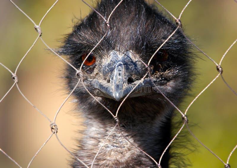 Emu d'autruche dans le zoo photo stock