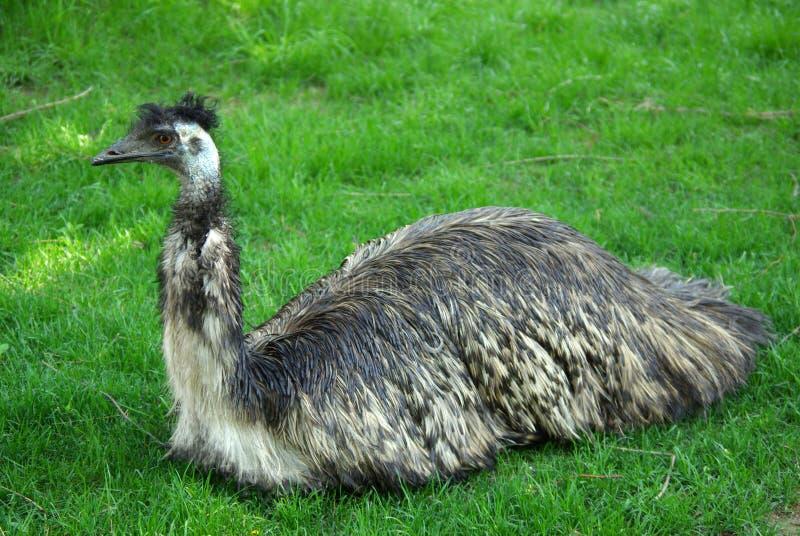 Emu dans le zoo image libre de droits