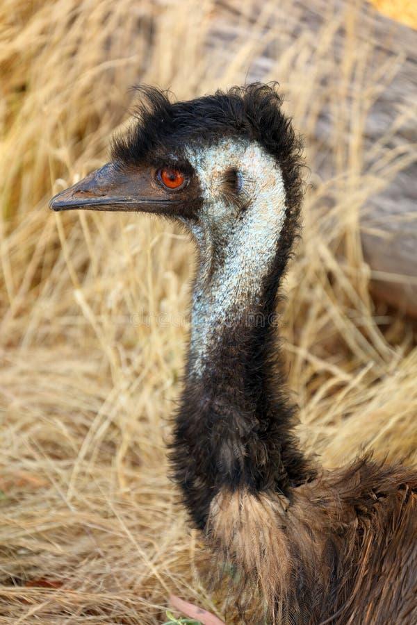 Emu głowa obraz stock