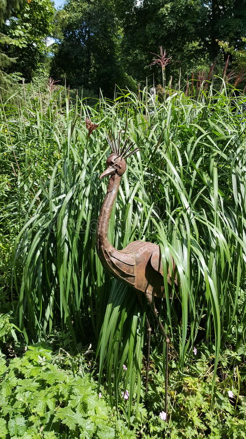 Emu in Grass. At Great Comp stock photo