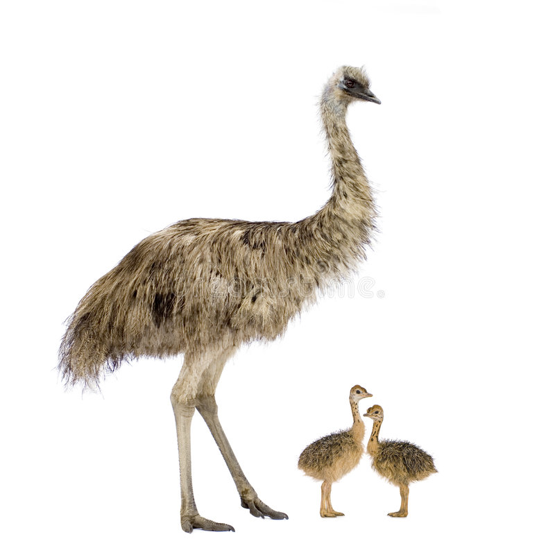 Emu and her chicks. In front of a white background