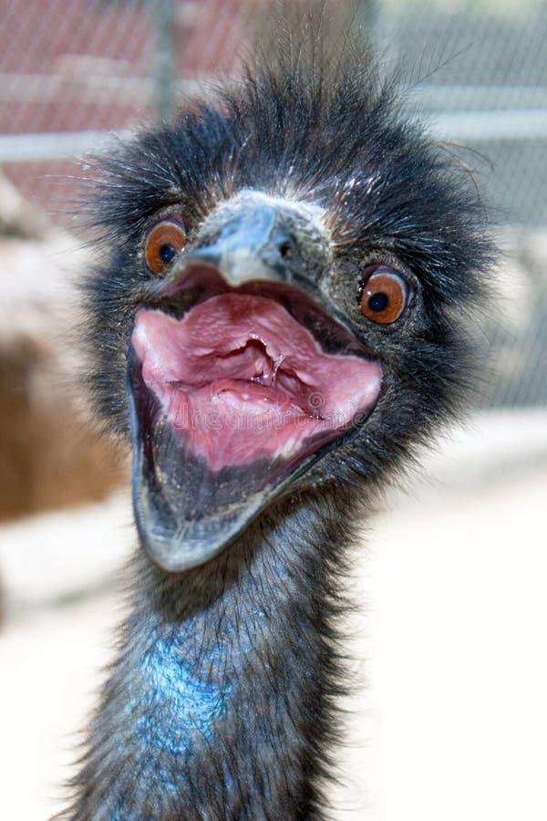 Emu louco imagem de stock royalty free