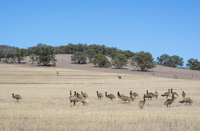 Emu-Pöbel, Alligator-Schlucht, Süd-Australien lizenzfreies stockfoto