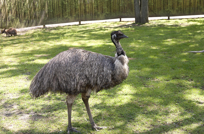 Emu. Portrait of an emu in a shaded area stock photos