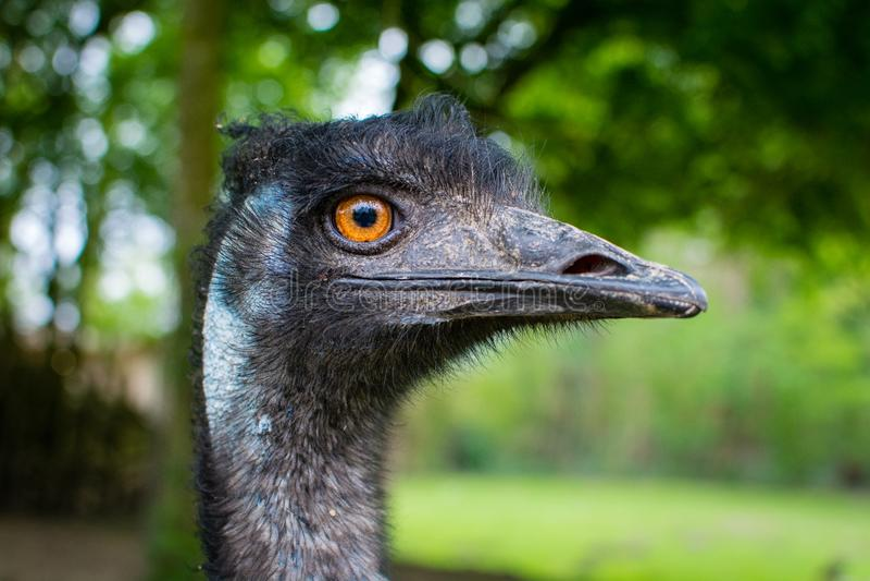 Emu royalty free stock photography