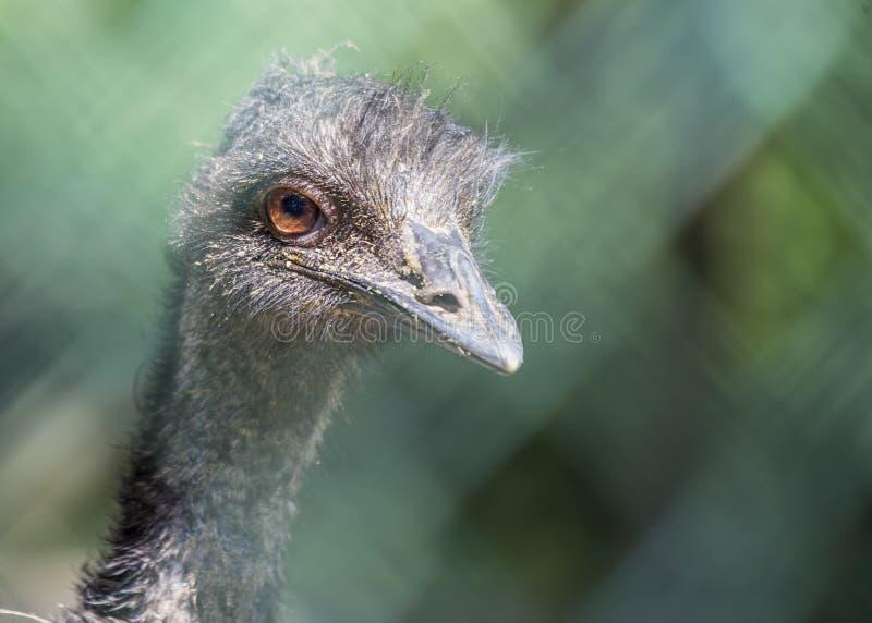 Emu portret obraz royalty free