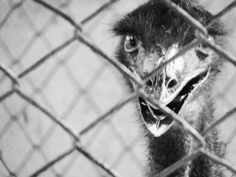 Emu ptak obrazy stock
