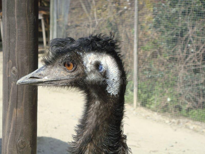 Emu, Ratite, Beak, Bird stock image