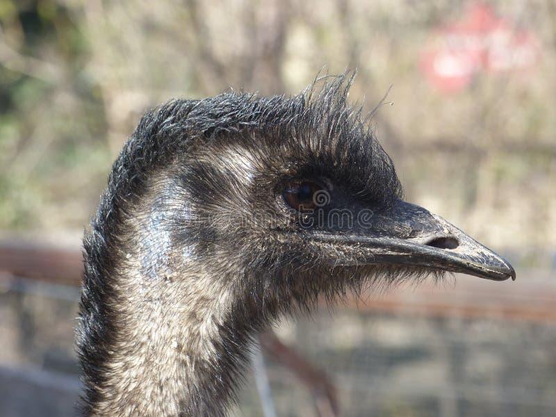 Emu. Shot with a Lumix DMC-FZ200 stock photo