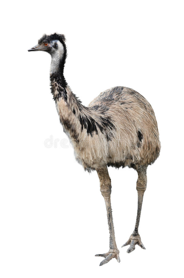 Emu som isoleras på vitbakgrund arkivbild