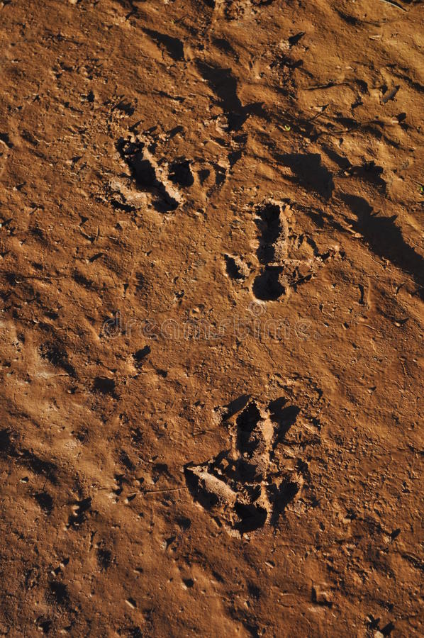 Emu Ostrich Tracks in Australian outback desert. Emu tracks in the desert in the australian outback stock photography