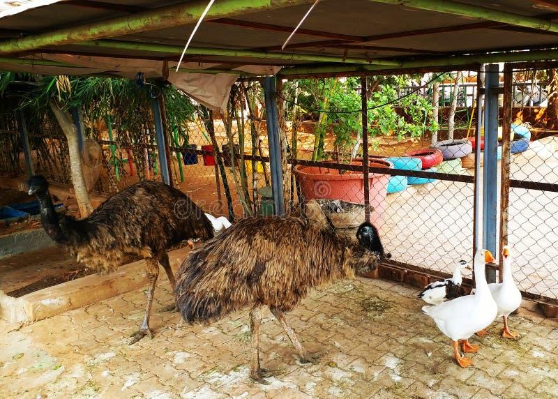 Emu w gospodarstwie rolnym zdjęcia stock
