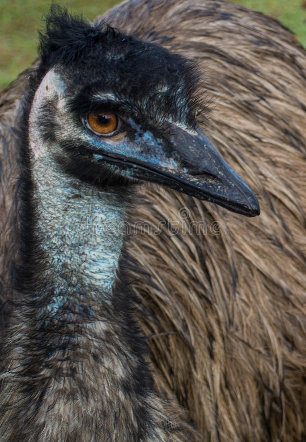 Emu in Yeppoon. Queensland, Australia royalty free stock photos