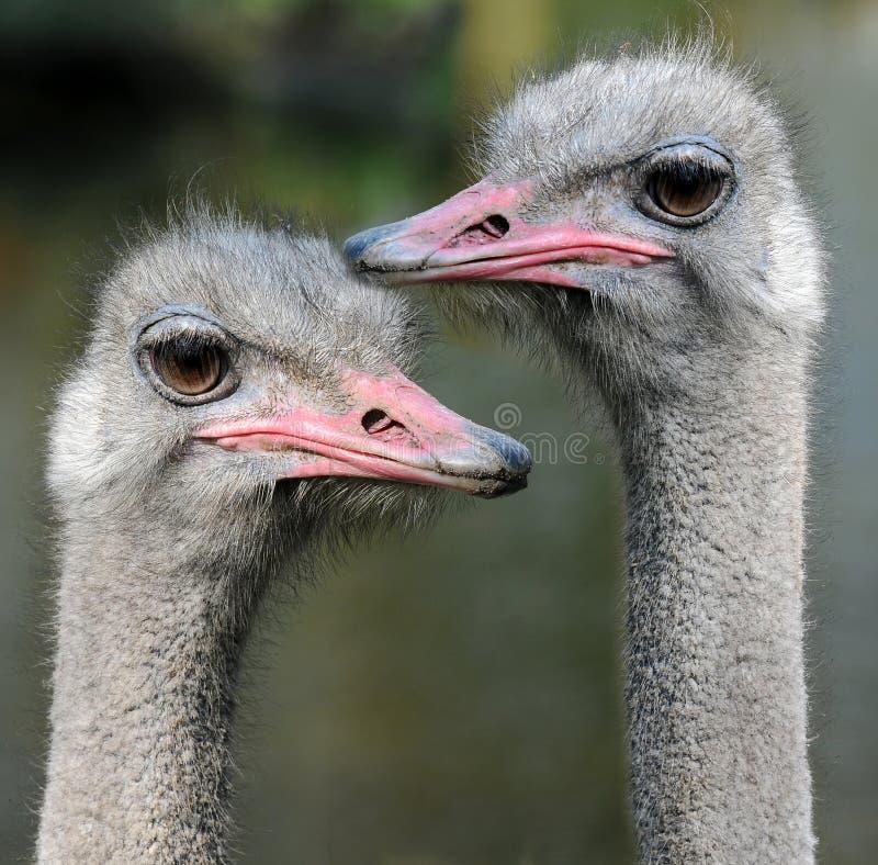 Emus stockfotos