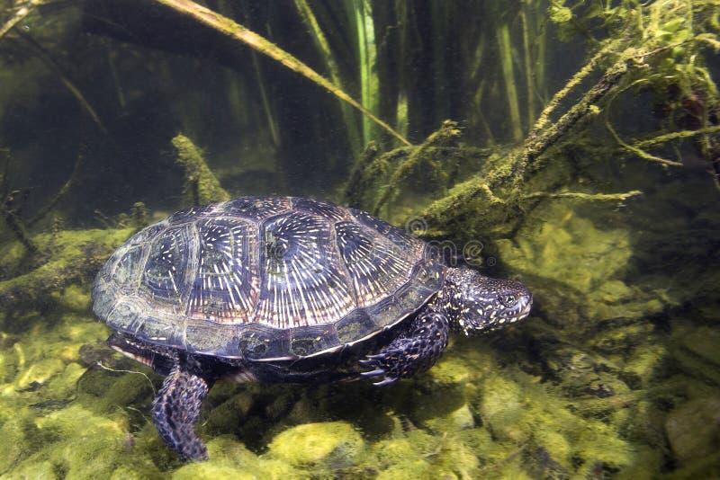 Emys för Uropean dammsköldpadda orbicularis arkivfoto