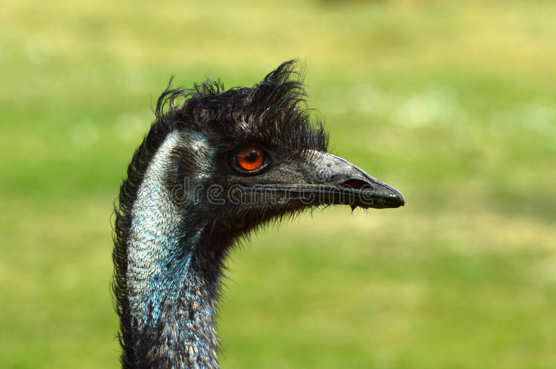 Emystruisvogel stock foto's