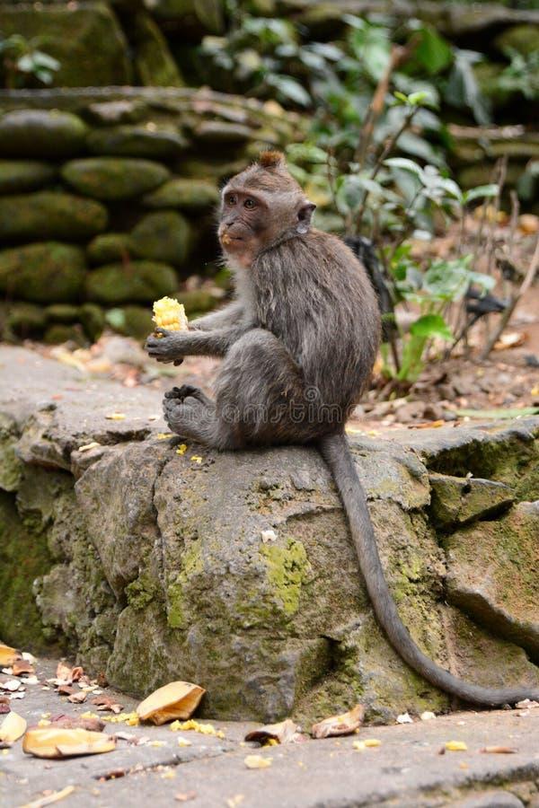 Enäta macaque ApaskogPadangtegal by Ubud _ Indonesien arkivfoto
