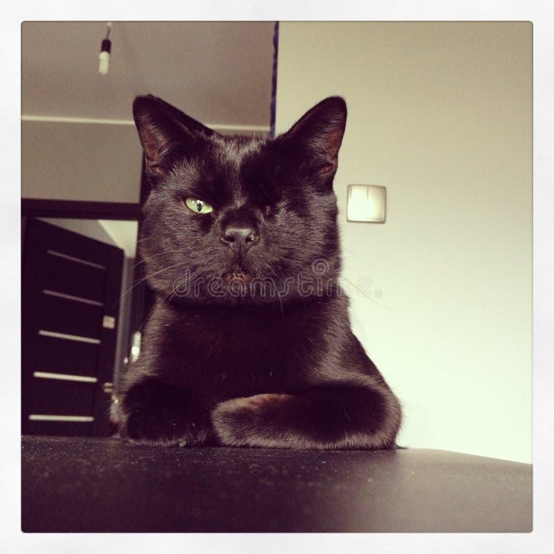 Enögt svart, kattframstickande royaltyfria foton