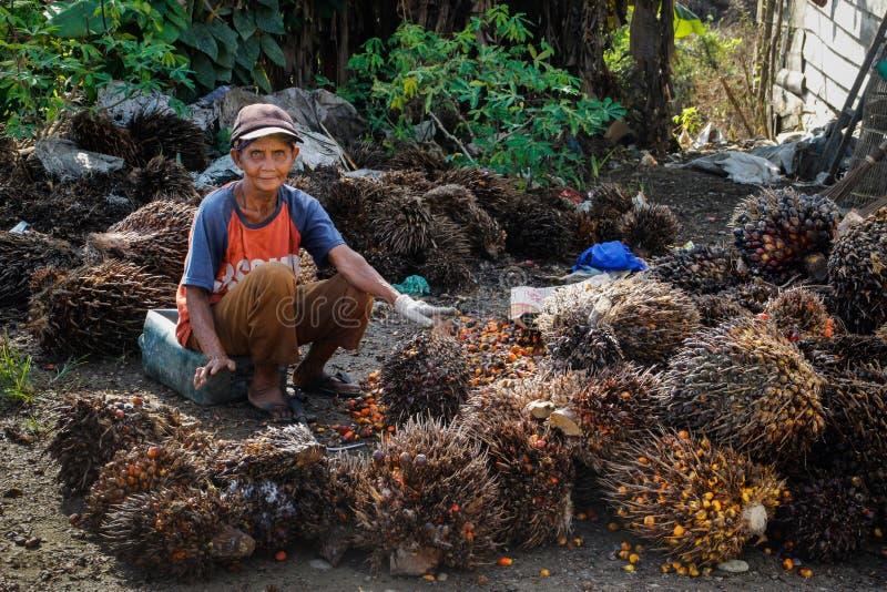 En äldre asiatisk kvinna arbetar på en lantgård med gömma i handflatan frukt som gömma i handflatan från olja göras arkivfoto