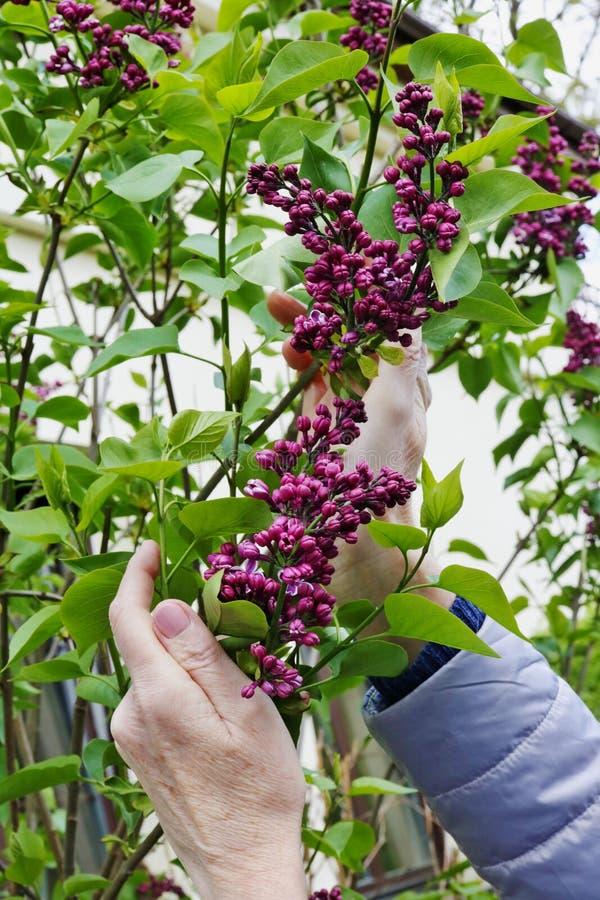 En äldre kvinna försiktigt att rymma i hand purpurfärgade lila blommor för en första vår på trädgårdbusken arkivbilder