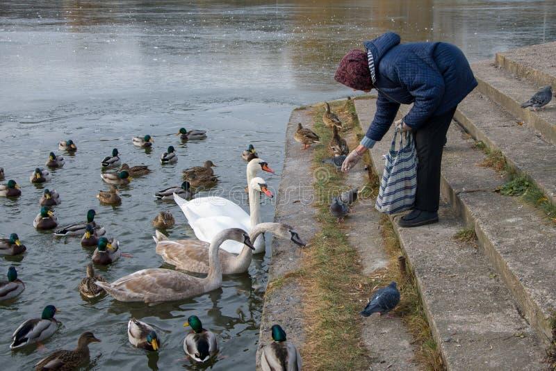 En äldre kvinna kastar mat till ankor och svans på vintern samtidigt som hon tenderar att vara vildlevande royaltyfria foton