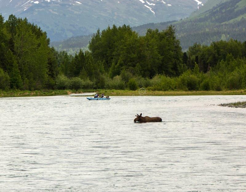 En älg som tycker om ett bad i alaska arkivbilder