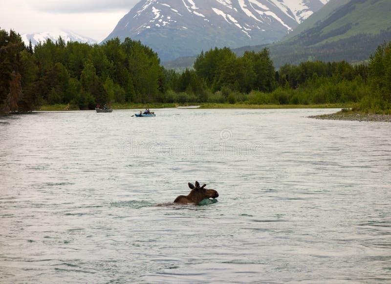 En älg som tycker om ett bad i alaska royaltyfria bilder