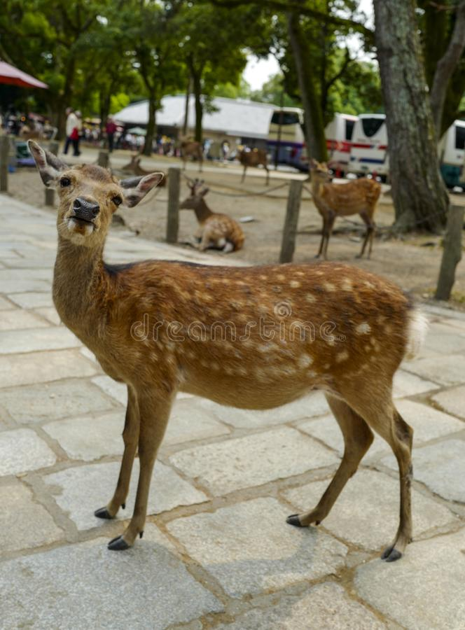 En ?lskv?rd hjort g?r p? jordningen i Nara Park Nara Park ?r en allm?nhet parkerar lokaliserat i staden av Nara arkivfoto